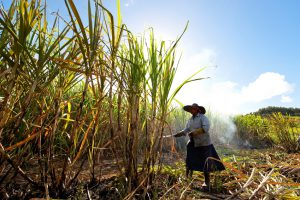 """Flacq District, Mauritius - July 29, 2011: A woman is harvesting sugar canes in field, Mauritius."""